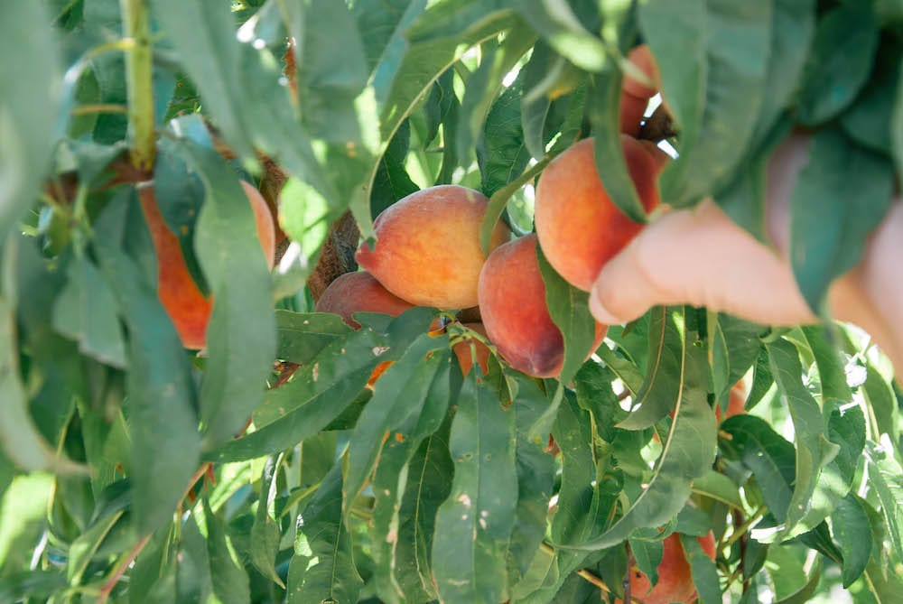 Peach Picking in Arizona