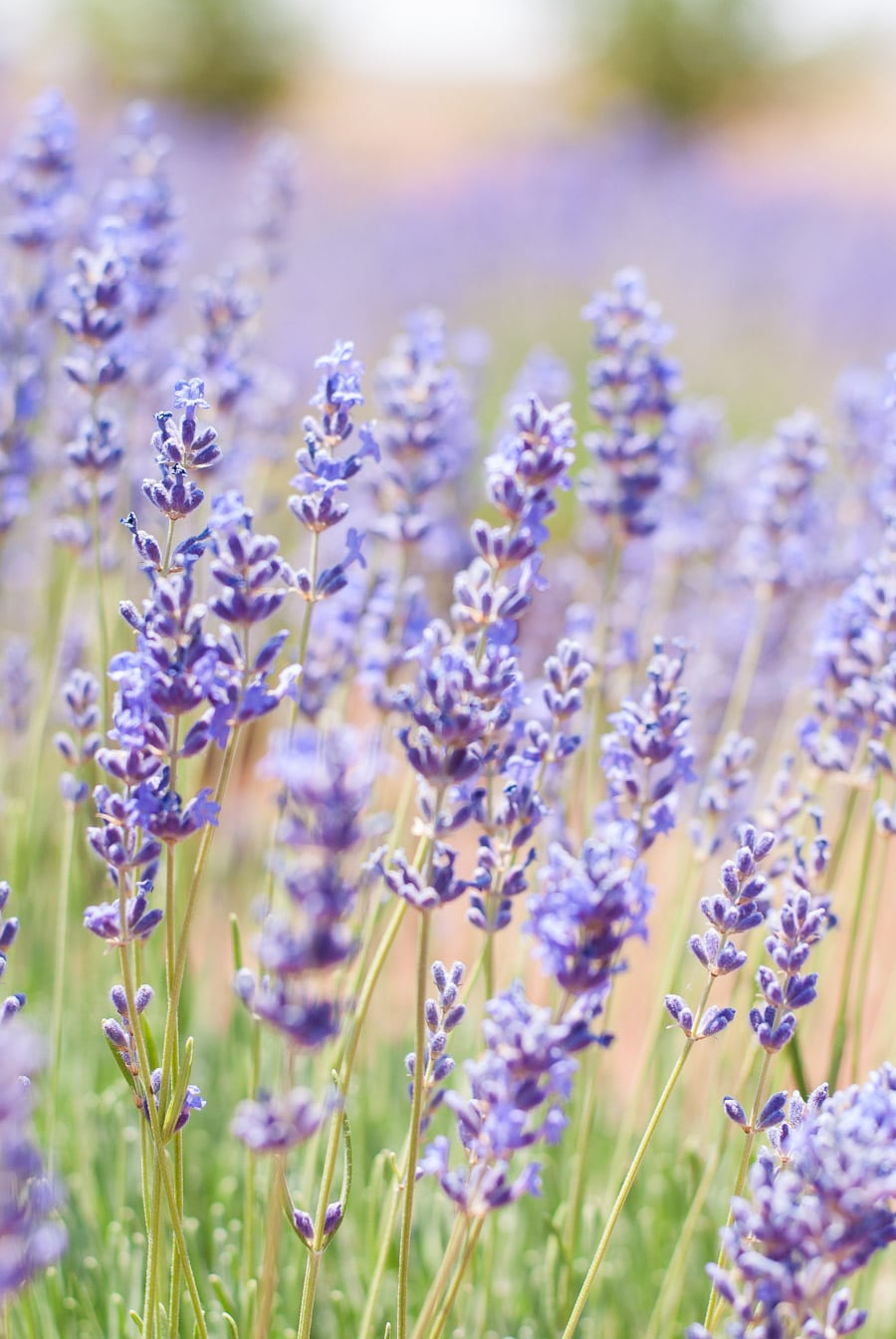 Close up image of a field of culinary lavender