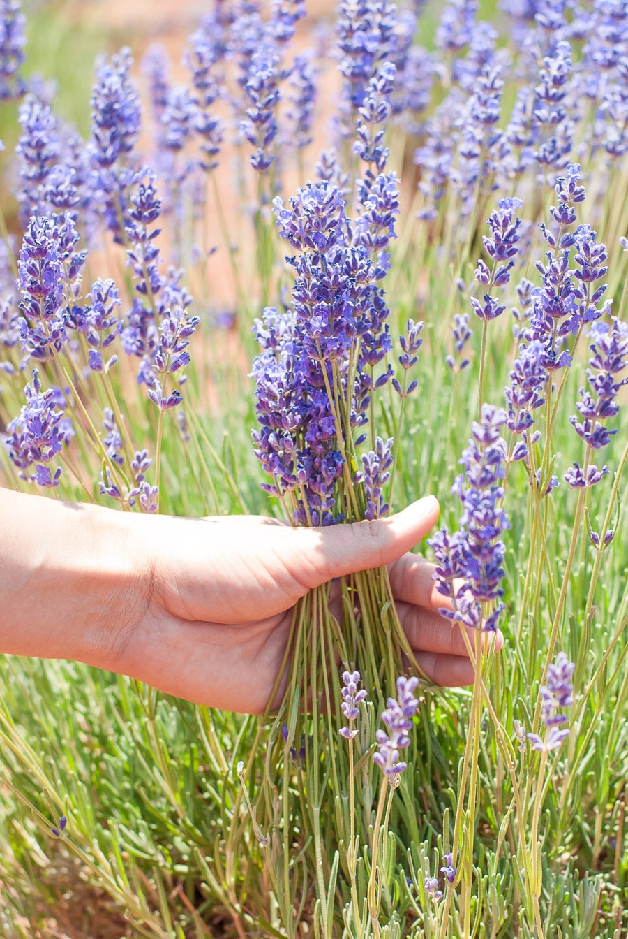 A hand grabbing a bunch of culinary lavender from the bush