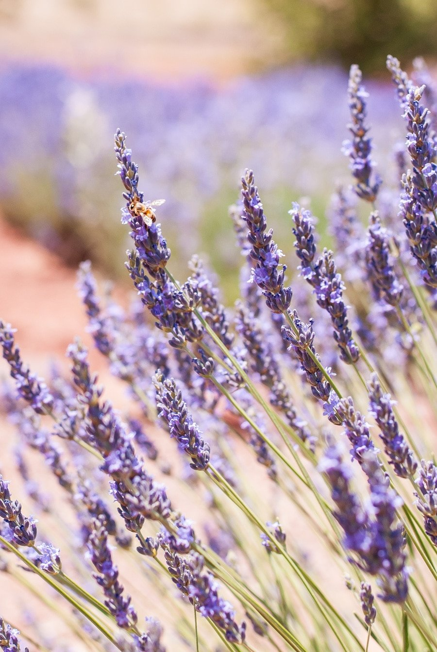 A bee that is hanging onto a stock of culinary lavender on a bush.