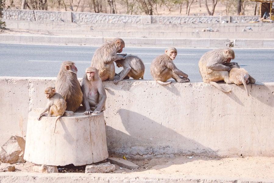 Wild Roadside Monkeys in Delhi, India